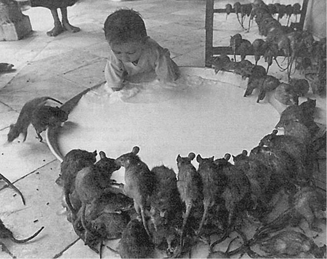 кто ловил крысу голыми руками